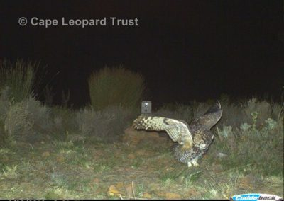 Cape eagle owl1 - Cape Leopard Trust