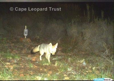 Cape fox - Cape Leopard Trust (2)