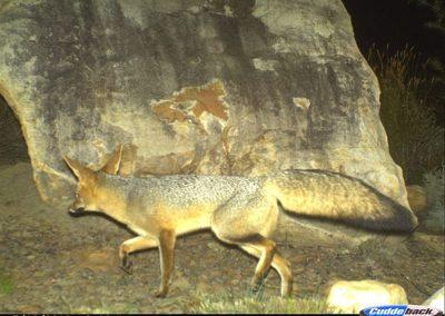Cape fox - Cape Leopard Trust