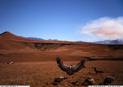 Cape vulture landing - Rickert v d Westhuizen