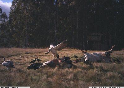 Cape vulture stretching - Rickert v d Westhuizen