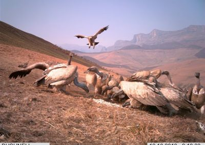 Cape vultures feeding and landing - Rickert v d Westhuizen