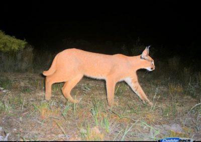 Caracal 2 - Cape Leopard Trust