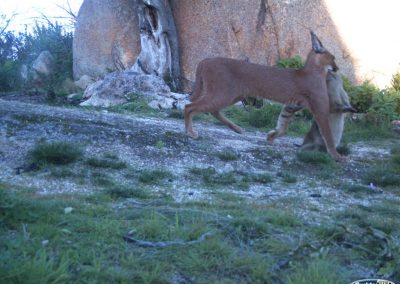 Caracal with Rock hyrax kill - PDI - Gridget Johnsen