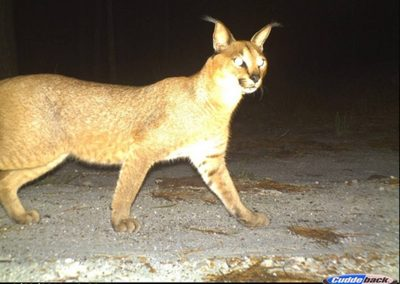 Caracal2 - Cape Leopard Trust - Boland