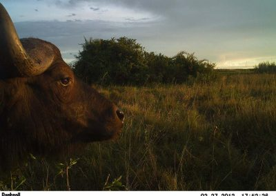 Chatye buffalo - Carl Huchzermeyer