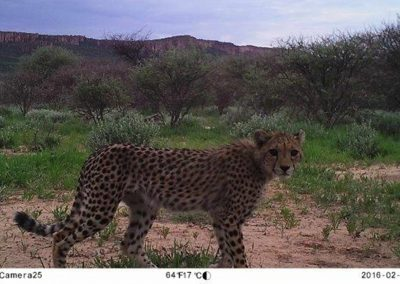 Cheetah - Louisa Richmond-Coggan - CCF - Namibia