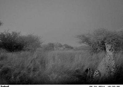 Cheetah - Mariska Bijsterbosch - Namibia