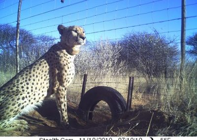 Cheetah at fence - Naan ke se - Namibia