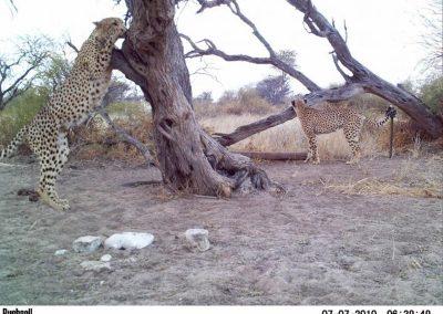 Cheetah coalition - Katherine Forsythe