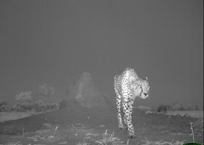 Cheetah early evening - Limpopo Transfrontier Predator Project