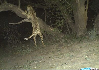 Cheetah scratching tree - Lorraine Boast