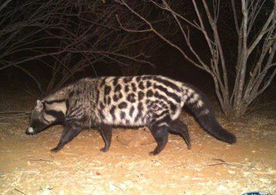 Civet-10-aug - Villiers Steyn