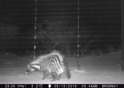 Civet threat display-15-june - Villiers Steyn