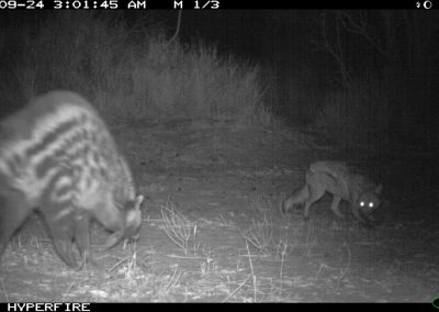Civet vs jackal - Limpopo Transfrontier Predator Project