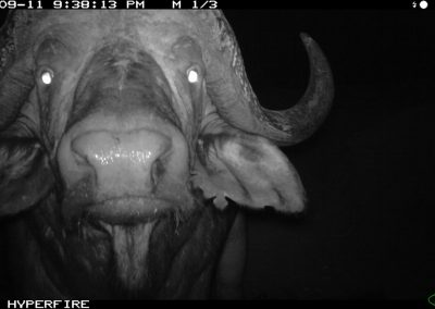 Close buffalo - Limpopo Transfrontier Predator Project