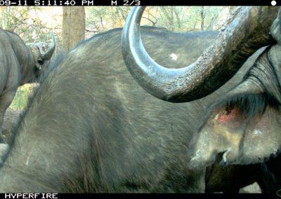 Close buffalo horns - Limpopo Transfrontier Predator Project