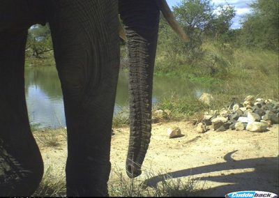 Close elephant - CP - Limpopo