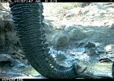 Close elephant trunk - Limpopo Transfrontier Predator Project