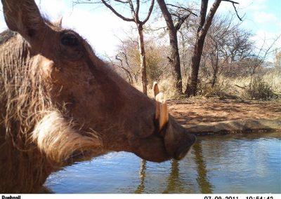 Close warthog - Jacque Arnold