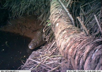 Crocodile in burrow 1- Xander Combrink - KZNWildlife