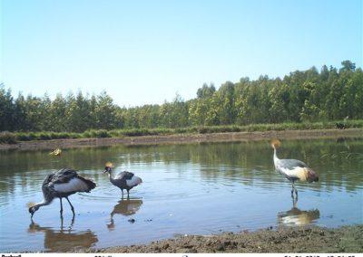 Crowned cranes1 - Bruce Lesur