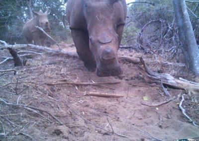 Dehorned rhino - Matthew McLean - undisclosed