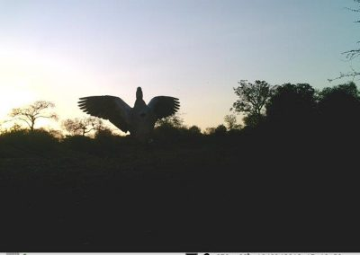 Egyptian goose silhouette - Villiers Steyn - HWE