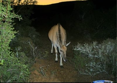 Eland at sunset - Brad Fike - Sam Knott NR