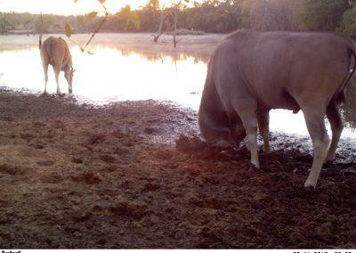 Eland horning mud 2 - Lucy Hughes