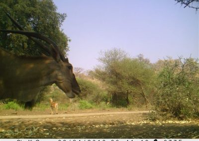 Eland with skew horn - Wilderness Safaris