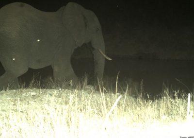 Elephant bull - CP - Lowveld