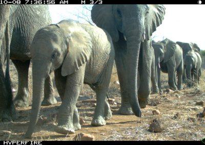 Elephant herd - Limpopo Transfrontier Predator Project