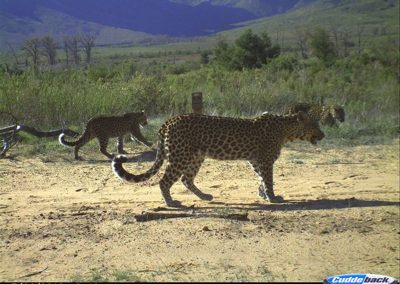 Female leopard and cub pair - Cape Leopard Trust