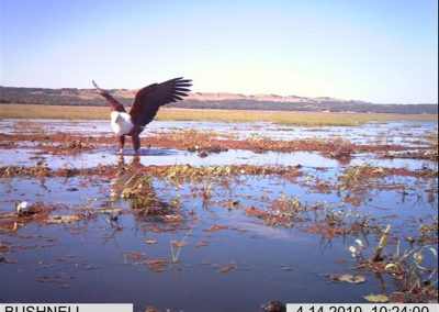 Fishing fish eagle - Xander Combrink - KZNWildlife