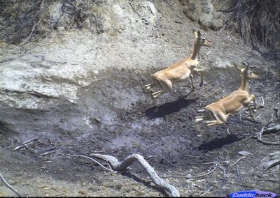 Fleeing impala - Wilderness Safaris