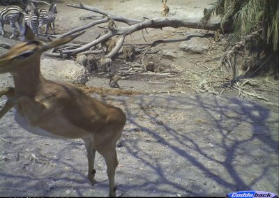 Fleeing impala2 - Wilderness Safaris