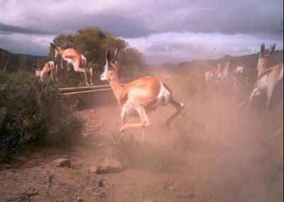 Fleeing springbok - Susan Gie