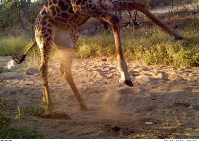Giraffe sniffing 2 - Lucy Hughes