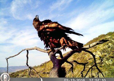 Golden eagle 1 - José Ojeda - MEXICO