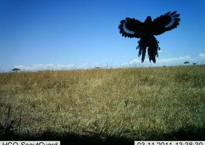 Green woodhoepoe landing - Serengeti Lion Project