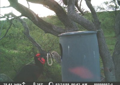 Ground hornbill nest1- Tim Paxton