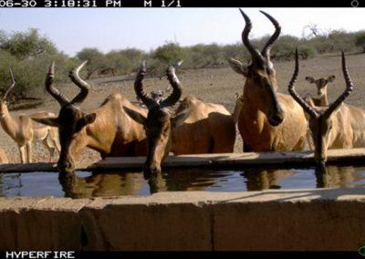 Hartebeest drinking - Limpopo-Lipadi