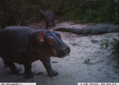 Hippo at croc nest- Xander Combrink - KZNWildlife