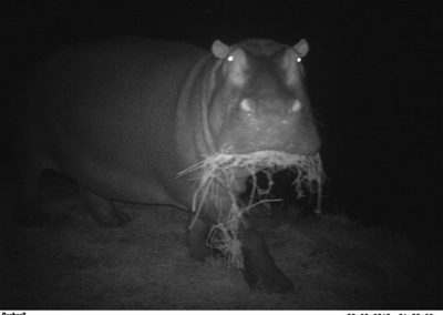 Hippo feeding5 - Highthorn Estate