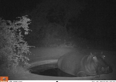 Hippo in waterhole - Leonie Hofstra.JPG