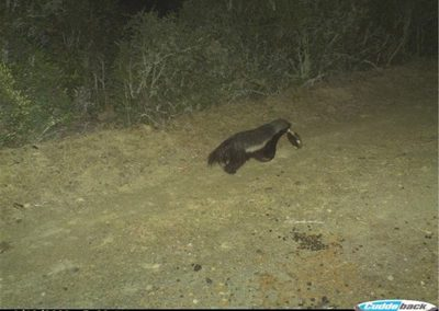 Honey badger with terapin - Brad Fike - Sam Knott NR