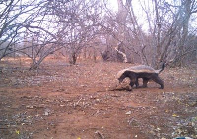 Honey badger2 - Villiers Steyn - HWE