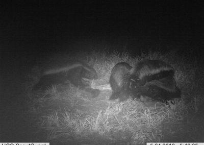 Honey badgers - Louisa Richmond-Coggan