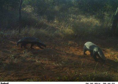 Honey badgers - Mariska Bijsterbosch - Namibia